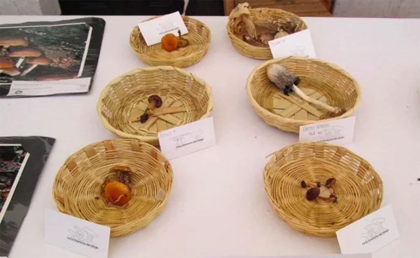 Of the 13,000 species of mushrooms in Chiapas, only 300 are edible.