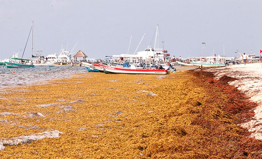 Much of the Quintana Roo coast is looking at abundant to excessive sargassum levels.