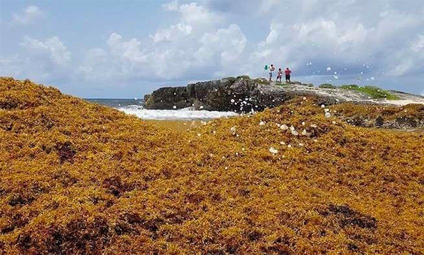 Huge sargassum arrival blankets beaches of southern Quintana Roo