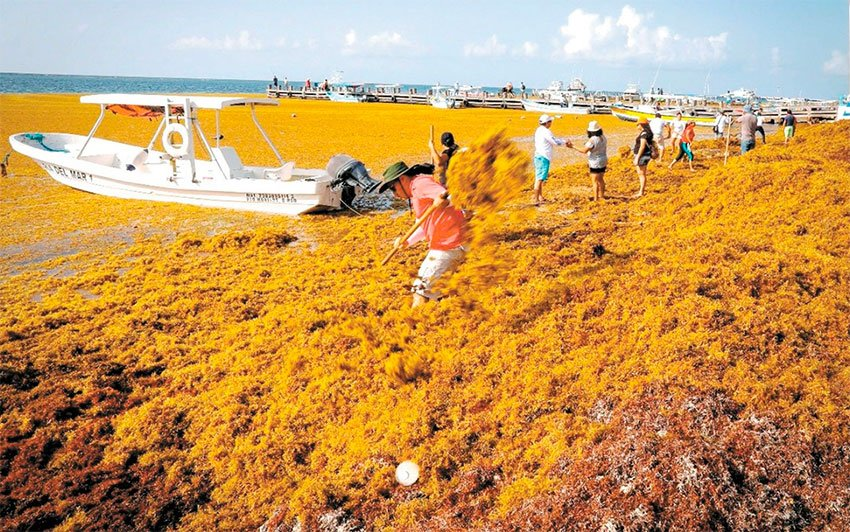Turtles' nests could be baking beneath the sargassum.