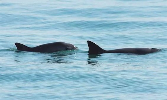 The vaquita is a seriously endangered species.