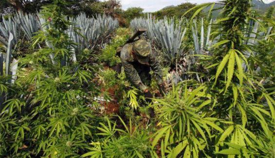 A soldier cuts marijuana plants