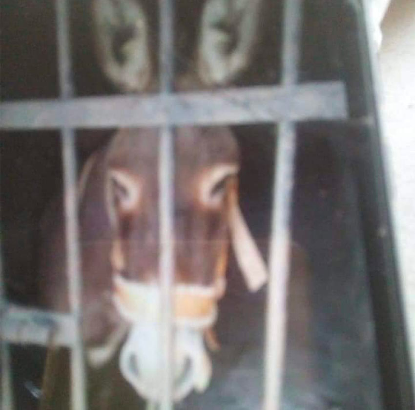 The unwitting donkey jailed over unpaid taxes.