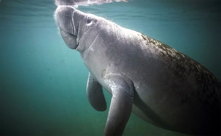 Manatees, a species at risk.