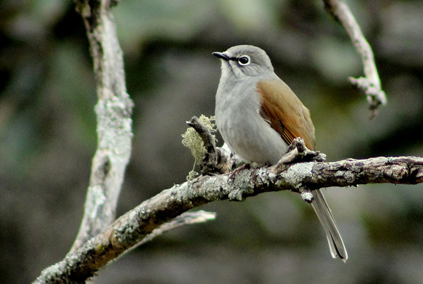 4b—–The-Brown-backed-solitaire-by-Julio-Alvarez