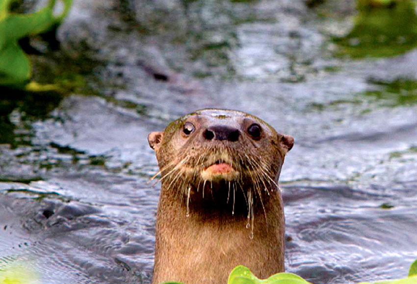 Manfred Meiners managed to photograph this otter in Jalisco's La Vega Dam.