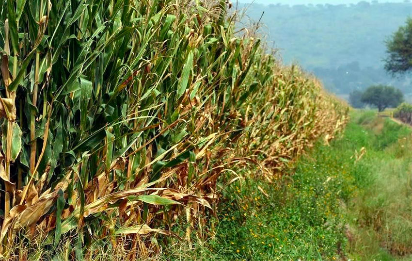 Law needed to protect native corn, federal agricultural official warns.