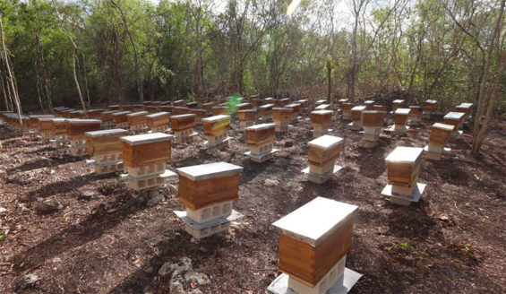 Hives in Yucatán, where more bees have been lost.