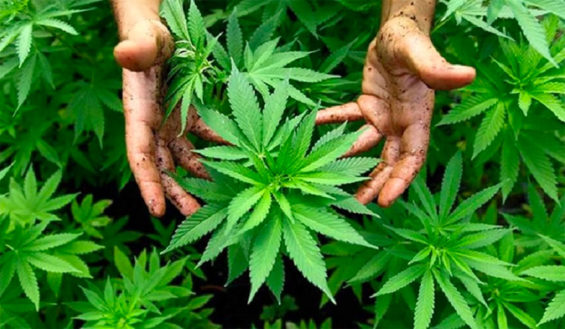 Mexico already has the expertise in the cultivation of marijuana.