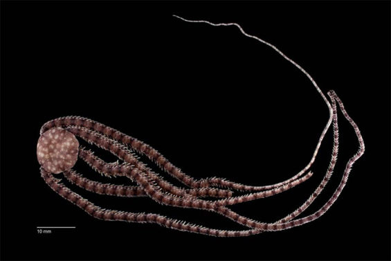 The brittle star, found in a cave in Quintana Roo.