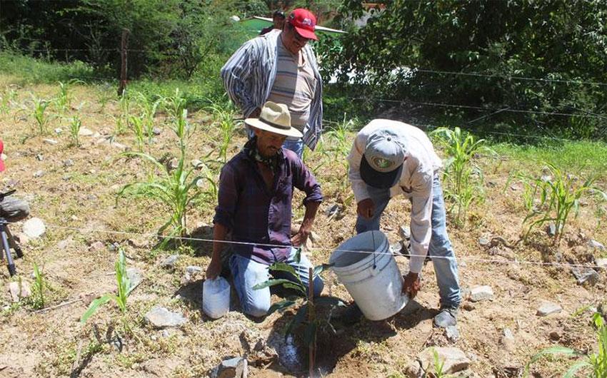 Planting avocado trees in Chihuahua.