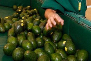 Avocado growers targets of extortion.
