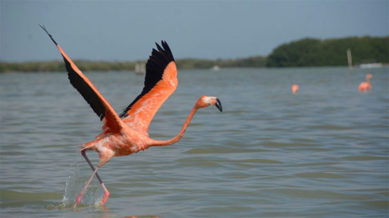 PInk flamingos are being counted on Yucatán peninsula.