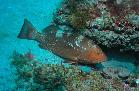 Red grouper: beware of plastic.
