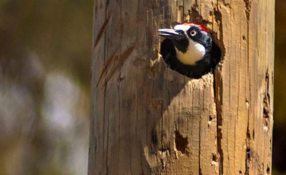 An acorn woodpecker hard at work inside a telephone pole.