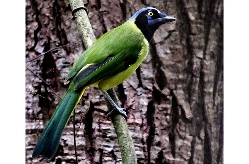 4—-sm-Chara-verde-Green-Jay-at-Tuxtla-Zoo
