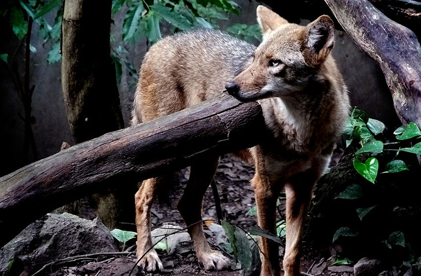 A fox takes a look around his jungly home at the Tuxtla zoo.