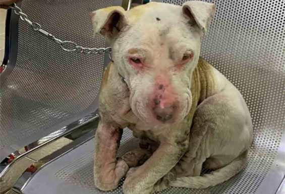 Dog that was victim of abuse.
