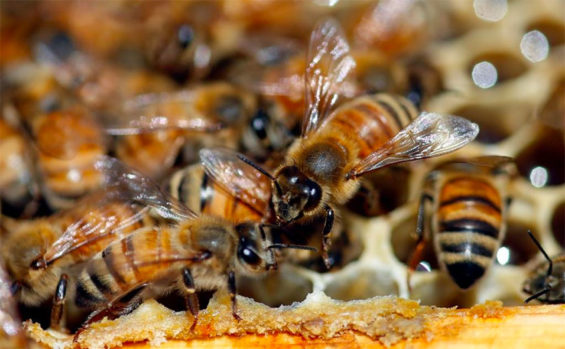 Bee protection efforts revealed in two states.