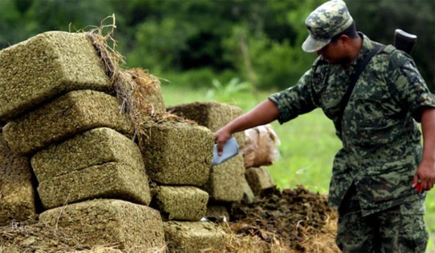 A soldier inspects seized marijuana.