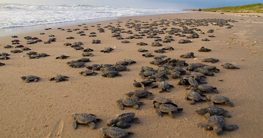 Turtles arrive on a Tamaulipas beach to lay their eggs.