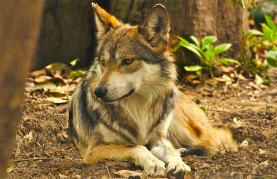 The Mexican wolf is no longer extinct, but the species remains endangered.