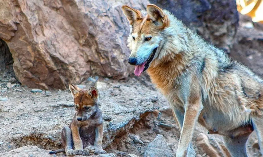 Mexican wolf and its pup.