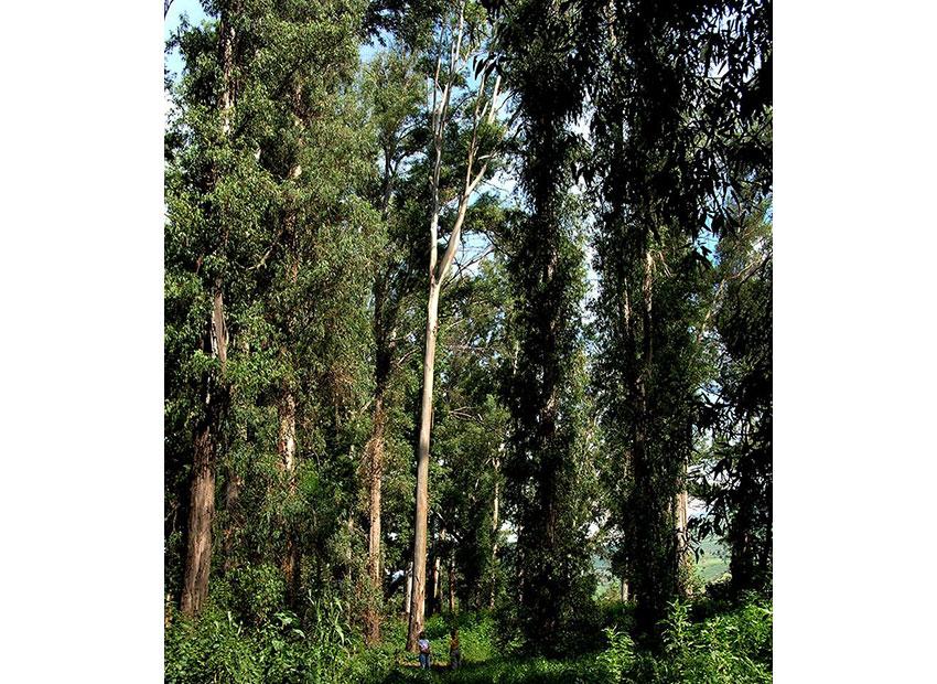 10—Eucalyptus-Grove