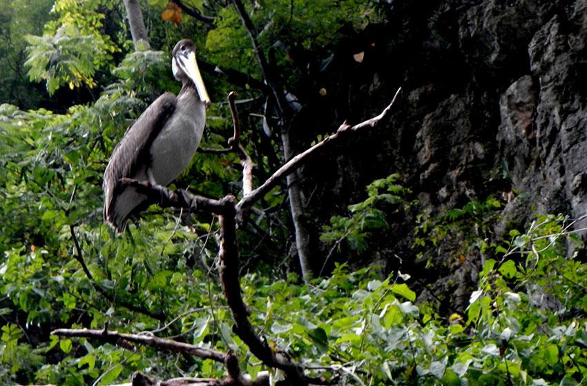 8—–sm-Pelican