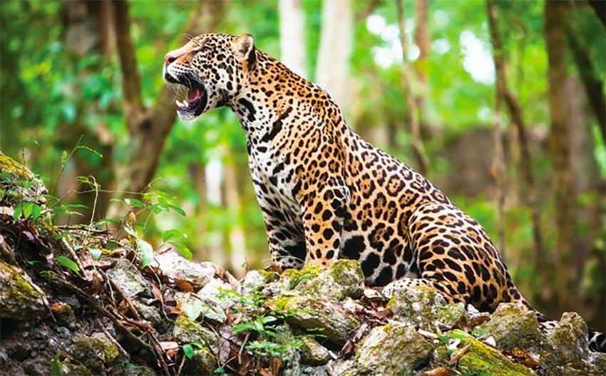 There's a black market for jaguar body parts.