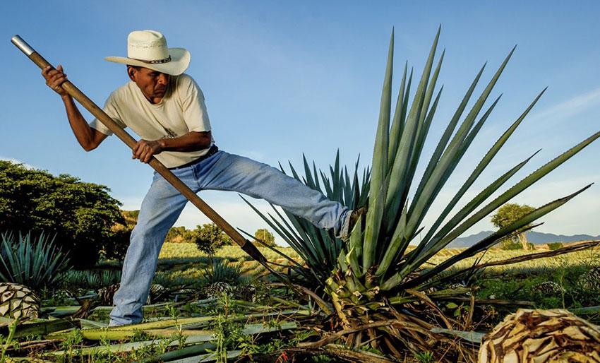 Harvesting agave for mezcal production.