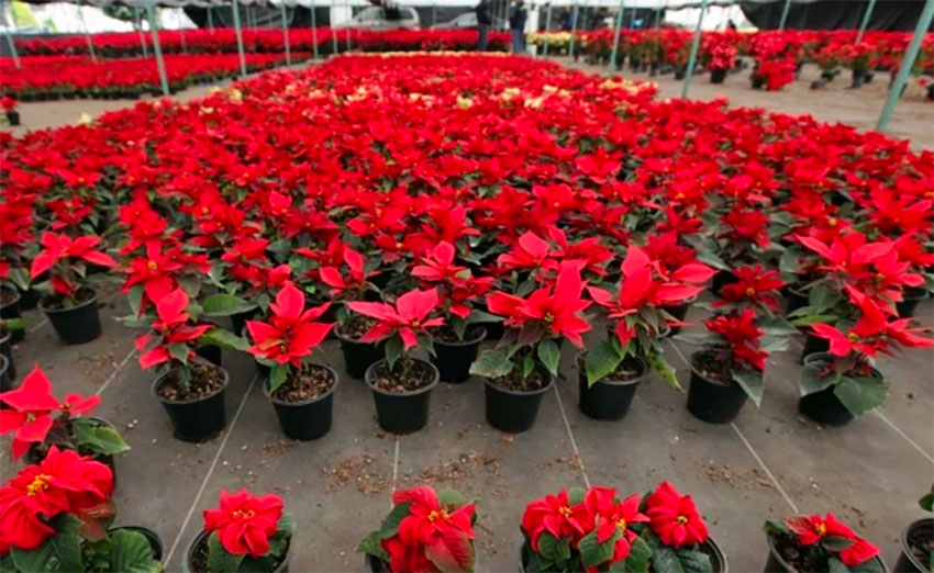 Poinsettia is one of the native plants whose cultivation will be encouraged.
