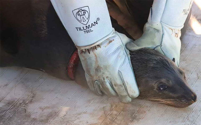 One of the sea lions rescued off Sonora.