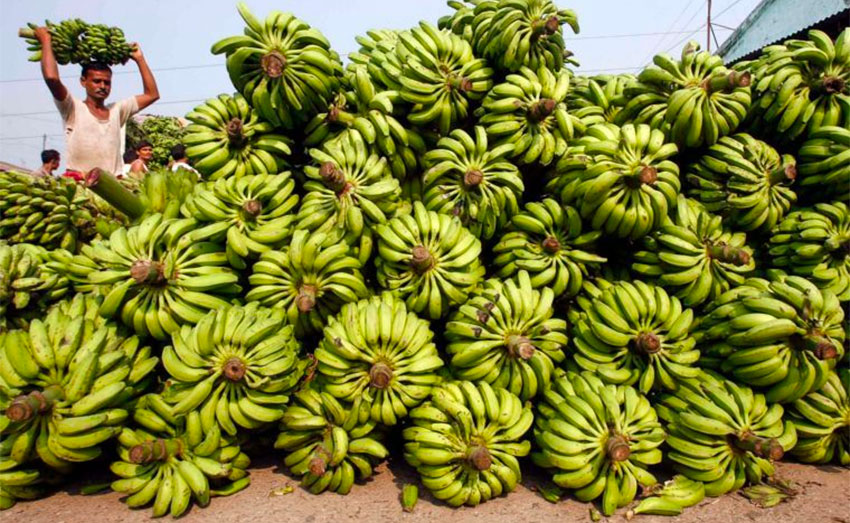 China-bound: 39 tonnes of bananas were shipped this week.