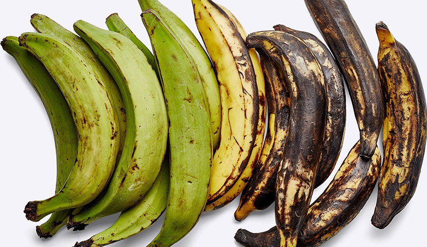 The plantain's stages of ripeness.