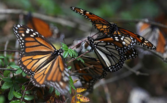 Monarch butterflies overwintering in Mexico.