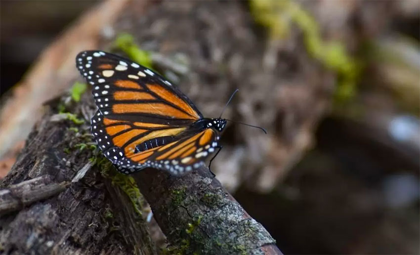 A monarch butterfly, under threat by more than depleted forests.