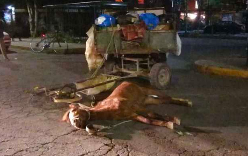 Garbage collector's horse lies dead in the street in Coacalco, México.