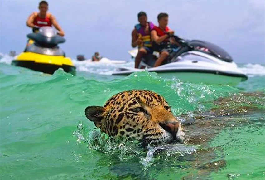 Jet Skis follow a jaguar in waters off Cancún.