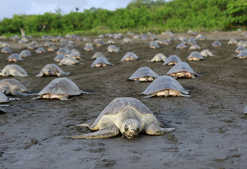 Olive ridley turtles on a beach in Costa Rica.