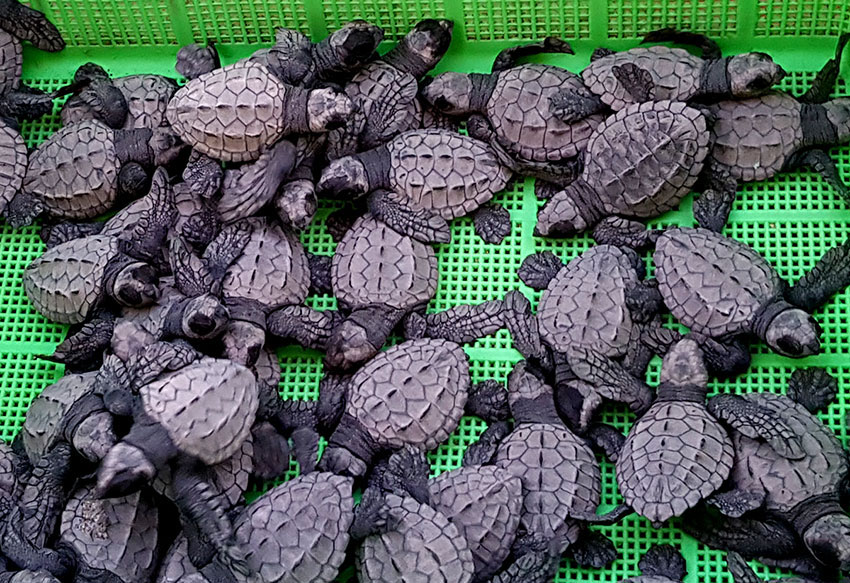 Baby turtles are designed to look like like stones from a distance.