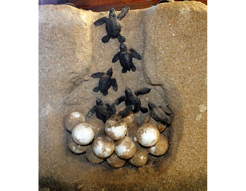 9—–sm-DSCF3073-Model-of-Turtle-Nest