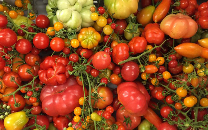 There is an abundance of tomatoes in Sinaloa right now.