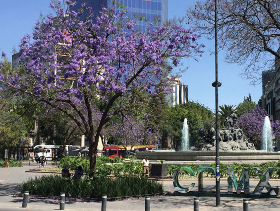 Jacarandas at the Glorieta de los Cibeles in Roma Norte