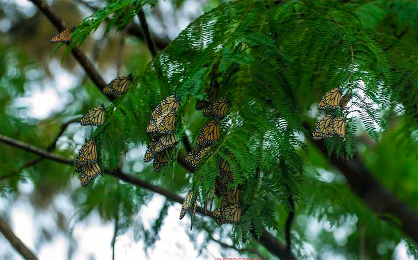 Illegal logging has been a factor in habitat loss for the monarch butterfly.