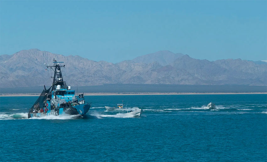 Fishboats attack the Sharpie in the Gulf of California on Tuesday.