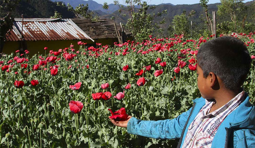 Opium poppies are not the cash crop they used to be.
