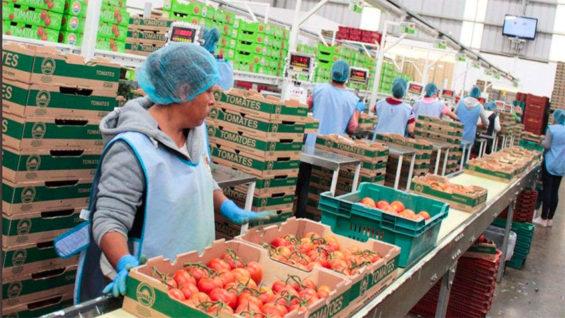 Tomatoes are the main product at Invernaderos Potosinos.