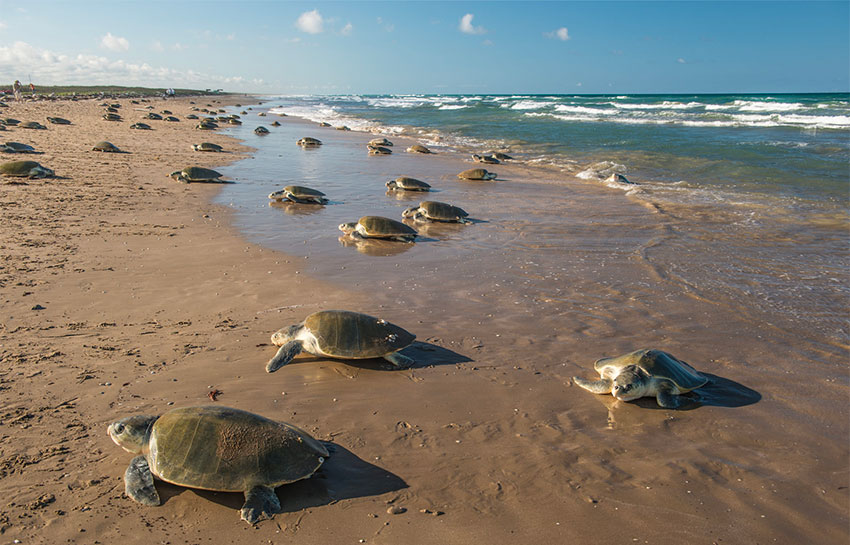 Over 95% of the world's Kemp's ridley turtles nest on the beaches of Tamaulipas.