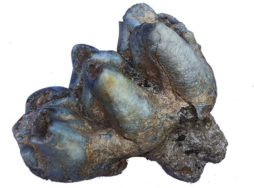 7—-sm-molar-of-young-mammoth